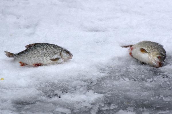 Frisch geangelte Fische