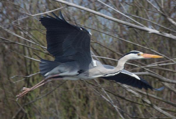 2013. Brandenburg. Vogel. Vögel. Graureiher (Ardea cinerea) Fischreiher.