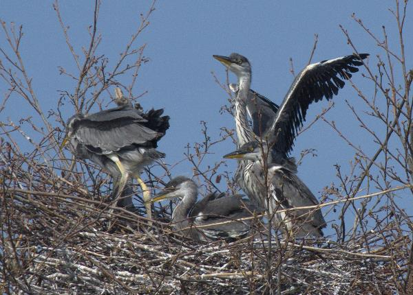 Junge Fischreiher im Nest