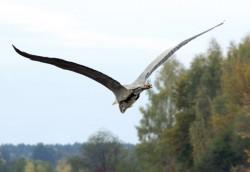 Fliegender Fischreiher - Graureiher ...