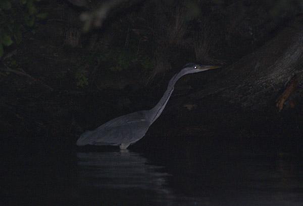 Fischreiher. Jäger bei Nacht